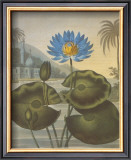 The Blue Egyptian Water-Lily Poster by Dr. Robert J. Thornton
