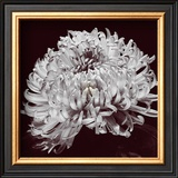 Chrysanthemum Prints by Bill Philip