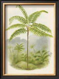 Tree Fern (Hemitelia Lindeni) Poster by Georg Dionysius Ehret