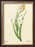 White Tuberose Prints by Pierre-Joseph Redouté