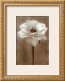 Antique Rose Prints by Christine Zalewski