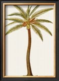 Coconut Palm Tree Prints by Georg Dionysius Ehret