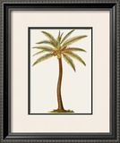 Coconut Palm Tree Posters by Georg Dionysius Ehret