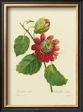 Passion Flower Prints by Pierre-Joseph Redouté