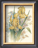 Yellow Iris Posters by T. C. Chiu