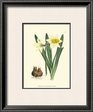Yellow Narcissus II Poster by  Van Houtt