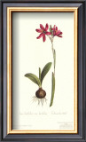 Ixia Latifolia Var. Latifolia Posters by Sydenham Teast Edwards