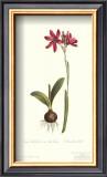 Ixia Latifolia Var. Latifolia Posters by Sydenham Teast Edwards