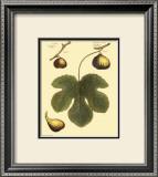 Fig Leaf I Print by  Langley