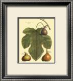 Fig Leaf II Prints by  Langley