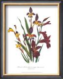 Sphoerospora Imbricata Art by Jane W. Loudon