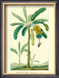 Banana, Musa Sapientum Prints by Ch. Lemaire