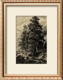 Arolla Pine Print by Ernst Heyn