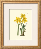 Yellow Narcissus I Prints by  Van Houtt