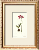 Ixia Latifolia Var. Latifolia Prints by Sydenham Teast Edwards