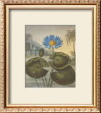 The Blue Egyptian Water-Lily Prints by Dr. Robert J. Thornton