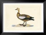 Duck V Prints by John Selby
