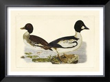 Duck I Prints by John Selby
