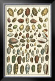 Seba Shell Collection VI Prints by Albertus Seba
