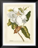 Magnificent Magnolias I Poster by Jacob Trew