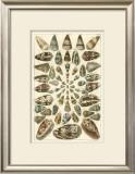Seba Shell Collection V Prints by Albertus Seba