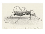 Anopheles Maculipennis a Female Mosquito Biting Human Skin Giclee Print