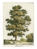 A Sweet Chestnut Tree Giclee Print