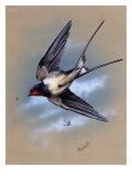 A Swallow (Hirundo Rustica) in Flight. Painting by Malcolm Greensmith Giclee Print by Malcolm Greensmith