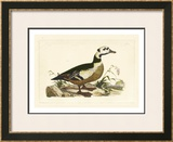 Duck VI Prints by John Selby