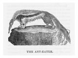 Anteater Giclee Print