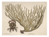 A Piece of Coral and a Crab with Red Claws Giclee Print