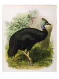 Cassowary (Galeatus) Giclee Print