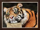 Lazy Tiger Prints by Toni Wallbank
