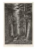 Douglas Firs and Gigantic Cedar Giclee Print
