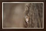 Gray Wolf Prints by Jim Brandenburg