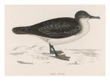 Dusky Petrel (Morris) Giclee Print