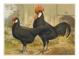 Black Minorca Cock and Hen Giclee Print
