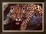 Jaguar Poster by Gerry Ellis