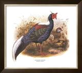 Swinhoe's Pheasant Posters by  Wolf & Smit