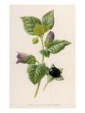 Deadly Nightshade Giclee Print