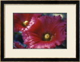 Red Hollyhock Poster by Meg Mccomb