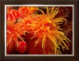 Orange Anemone, Ito Sea Prints by Charles Glover