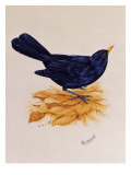 Blackbird Standing on Dry Leaves Giclee Print by Malcolm Greensmith