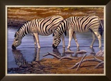 Zebras Drinking Prints by Clive Kay