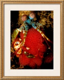 Mantis Shrimp Holding Eggs, Sulawesi Print by Charles Glover