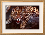 Jaguar Prints by Gerry Ellis