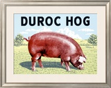 Duroc Hog Framed Giclee Print