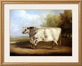Prize Bull Prints by William Davis