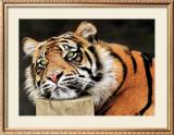 Lazy Tiger Art by Toni Wallbank