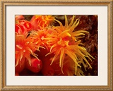 Orange Anemone, Ito Sea Print by Charles Glover